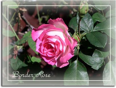 border_rose1.jpg